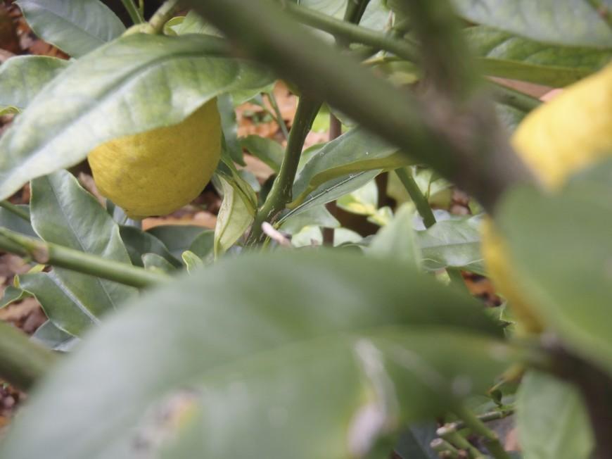 Zitronen im Wintergarten
